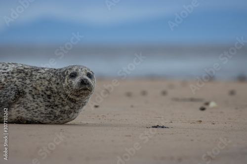 Tablou Canvas Common Seal, Harbor, Phoca vitulina, resting on the sand with colourful background near findhorn bay in Scotland during December