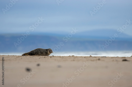 Fotografie, Tablou Common Seal, Harbor, Phoca vitulina, resting on the sand with colourful background near findhorn bay in Scotland during December