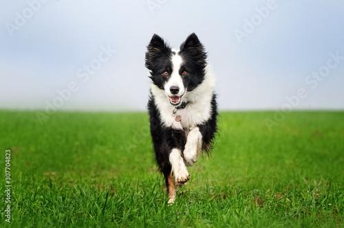 Fototapeta border collie dog lovely portrait fun walk on green field