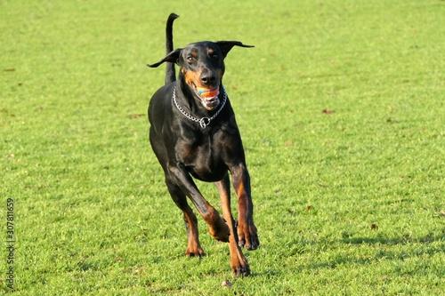 Valokuva Dobermann dog running towards the camera with a ball