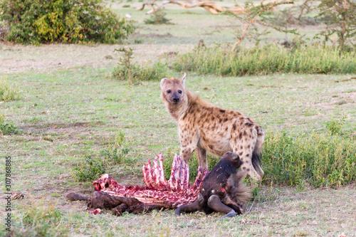 Fototapeta Hyenas eating wildebeest, Serengeti National Park, Africa