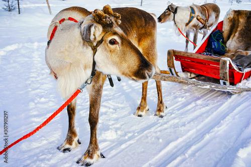 Obraz na plátně Reindeer sleigh in Finland in Rovaniemi at Lapland farm