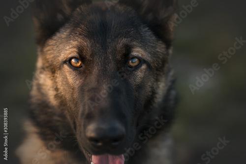 Canvas Print Working dog german shepherd mix in park