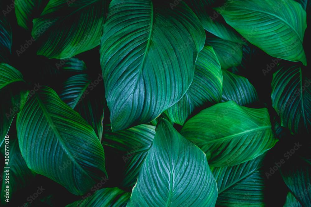 liście Spathiphyllum cannifolium, streszczenie tekstura zielony, tło przyrody, tropikalny liść <span>plik: #308771018   autor: Nabodin</span>