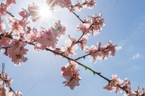 Murais de parede Pink blossoming almond trees on blue sky background