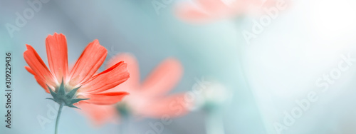 Delicate floral spring or summer border. Beautiful cosmos flowers on a blurred natural background. Soft selective focus.