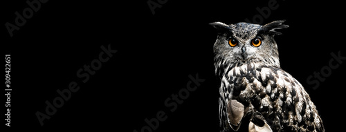 Foto Eurasian eagle owl with a black background