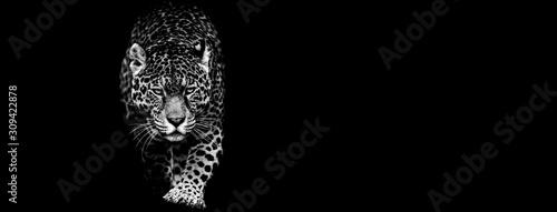 Fotografia, Obraz Jaguar with a black background