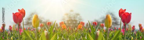 Fototapeta premium Panoramiczny krajobraz pola kwitnących tulipanów oświetlonych wiosną słońcem