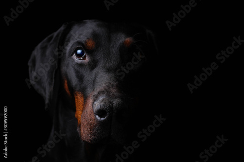 Obraz na płótnie Sinister Portrait of a dobermann staring at you from the darkness