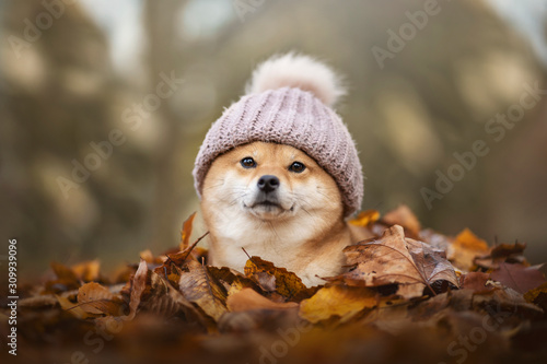Canvas Print chien shiba inu avec un bonnet sur la tete dans un tas de feuilles