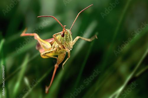Fototapeta Grasshopper jump close up, insect macro