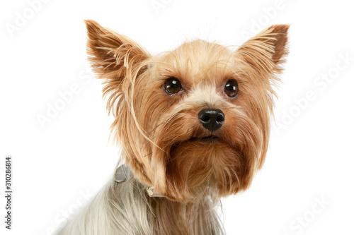 Canvas Print Portrait of an adorable Yorkshire Terrier