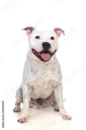 Photo Staffordshire bull terrier dog