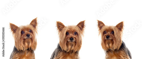 Canvas Print Yorkshire dogs looking at camera