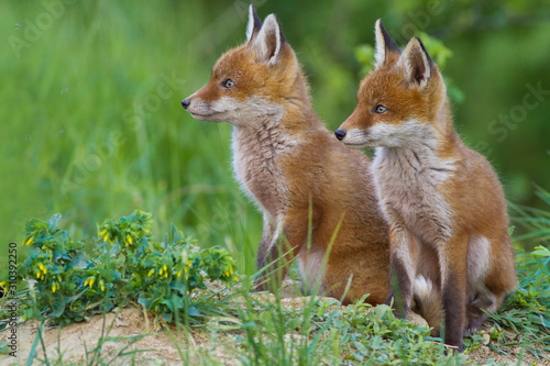 Fotografie, Obraz red fox cub