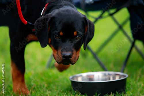 Canvas Print Dog breed rottweiler