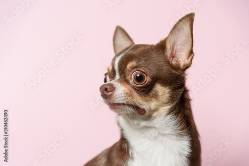 Fototapeta Bad surprised brown mexican chihuahua dog on pink background
