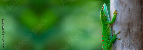 Fotografia Madagascar Giant Day Gecko sitting on a Tree Panorama
