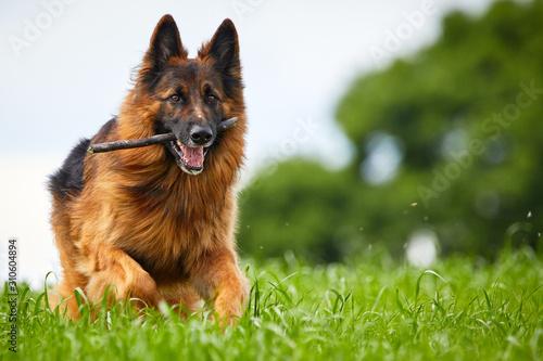 Fotografia Altdeutscher Schäferhund auf einer Wiese