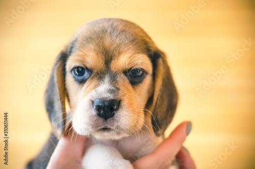 Fototapeta beagle puppy