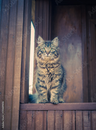 Canvas Print Fluffy Tabby cat sitting outdoor at the terrace