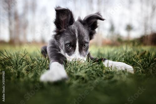 Obraz na plátně funny border collie puppy hiding nose in the grass, wide angle shot