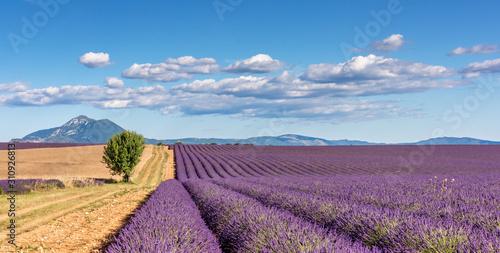 Fototapeta premium Lavender 59