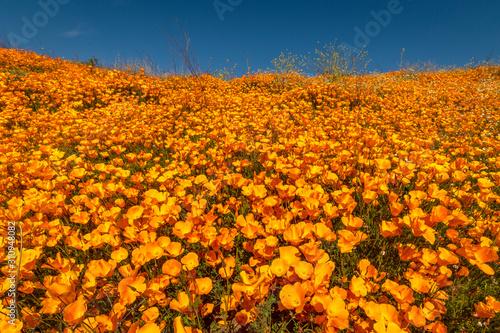 Obraz na plátně MARCH 15, 2019 - LAKE ELSINORE, CA, USA - Super Bloom California Poppies in Wa