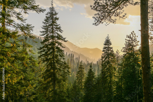 Tablou Canvas Fresh mountainous Idaho conifer forest after rain before sunset