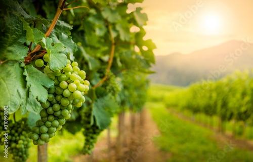 Grapes in vineyard in Wachau valley, winegrowing area, Lower Austria Fototapeta