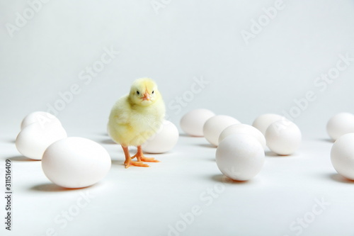 Fotografie, Obraz yellow chick with chicken eggs on a white background