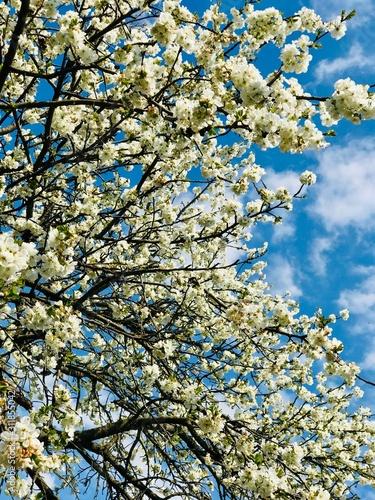 cherry blossom Fototapete