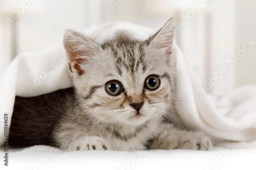 Fototapeta Cute little kitten looks out from under the blanket indoors