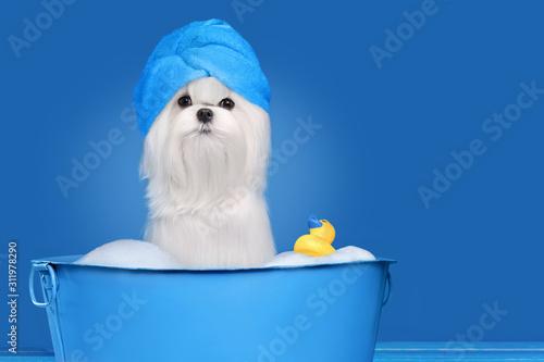 Maltese dog having bathing in a basin against blue background