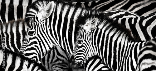 Fotografie, Obraz background which the structure of hide of zebra is represented on
