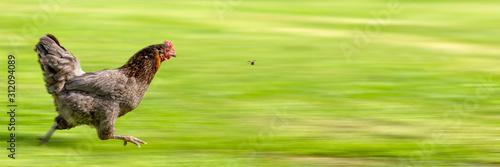 Obraz na płótnie Free-range Hen Chasing a Flying Insect
