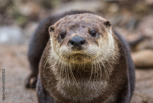 Wallpaper Mural North American River Otter, Lontra canadensis, adorable, lovable, friendly and c