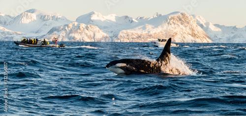 Stampa su Tela Orca / Killer Whale of Norway - Lofoten