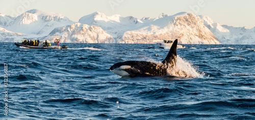 Fotografie, Obraz Orca / Killer Whale of Norway - Lofoten