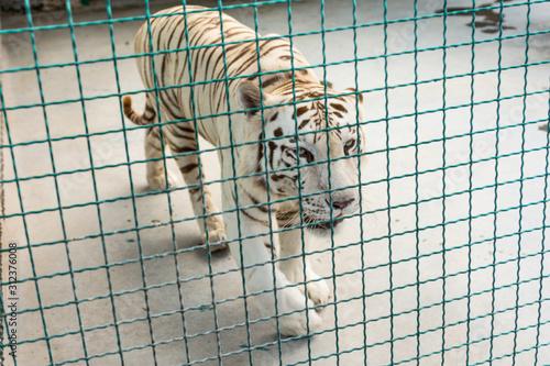 Canvas-taulu White beautiful majestic tiger in captivity.