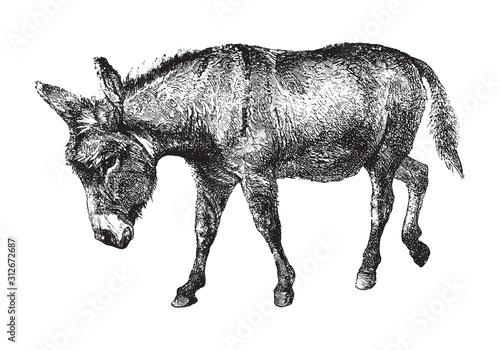 Fotografie, Tablou Donkey (Equus asinus) / vintage illustration from Brockhaus Konversations-Lexiko