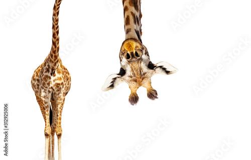 Żyrafa z długą głową wygląda do góry nogami na białym tle