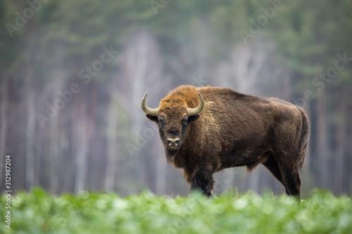 Leinwand Poster European bison - Bison bonasus in the Knyszyn Forest (Poland)