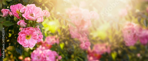 Mysterious fairy tale spring floral wide panoramic banner with fabulous blooming pink rose flowers summer garden on blurred sunny bright shiny glowing background and copy space