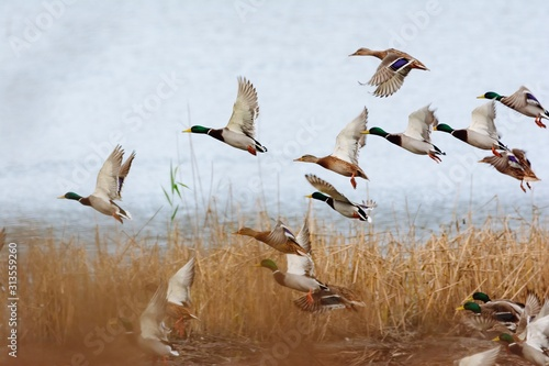 Fotografija Mallard duck flying over the lake