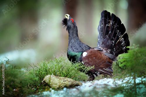 Valokuvatapetti Capercaillie, Tetrao urogallus in deep forest