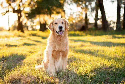 Fototapeta Golden Retriever dog enjoying outdoors at a large grass field at sunset, beautif