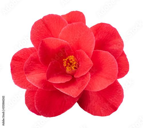 Fotografia, Obraz Red camellia