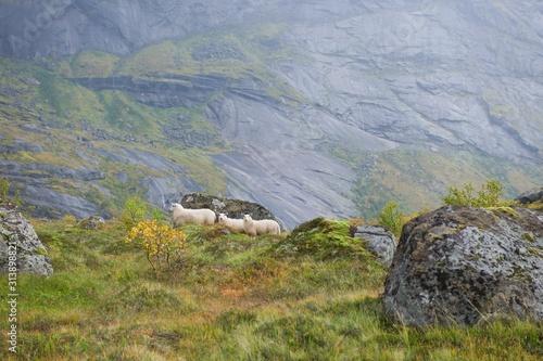 Fototapeta Sheep on the mountains of the Lofoten Islands Norway